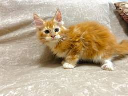 Lindos Maine Coon
