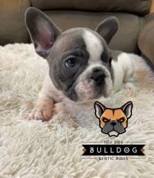 Bulldog frances cinza blue