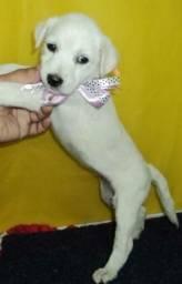 Labrador x dog brasileiro gratis linda caminha. so 100 cada.chama no Zap 85 9 9209-3210 en
