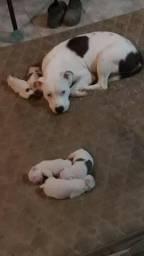 American Stafforshire Terrier 3 machos