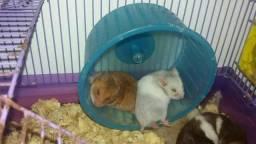 Hamster Sírio entrego