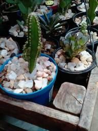 Vendo Mini Cactus