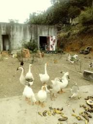 Lindos gansos sinaleiros