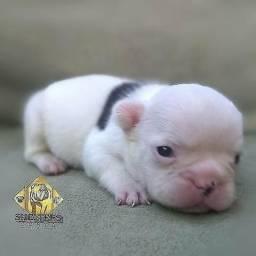 Bulldog francês macho Recife