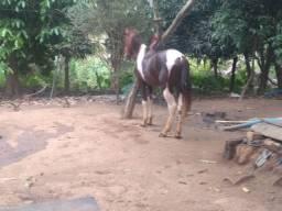 Cavalo pampo