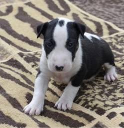 Bull Terrier, a pronta entrega com totais garantias