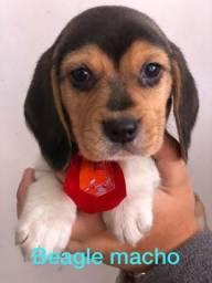 Beagle fêmea linda