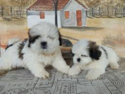 Lindos Shih Tzu macho com Pedigree disponivel