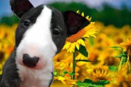 Bull terrier inglês, a pronta entrega na loja hoje, venha conferir