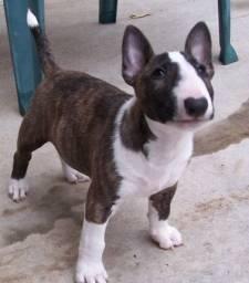 Lindos Bull Terrier