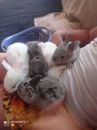 Vendo coelho, filhotes