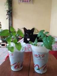 CATNIP a erva dos gatos