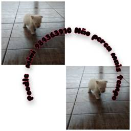 Poodle micro são maravilhosos Filhotes pra quem quer uma compahia