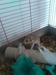 Vendo Hamster $10