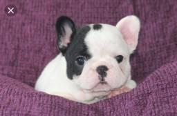 Vendo Bulldog francês fêmea