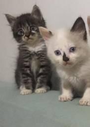 Gatinhos persa americana