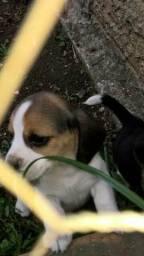 Filhotes de Beagle - 2 meses -