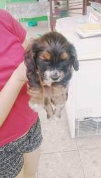 Cachorro cocker spaniel 200$