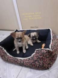 Chihuahua LINDOS FILHOTES (leiam tudo)