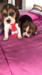 Filhote  de beagle femea e macho disponivel