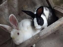Vendo casal de coelhos( branca fêmea)