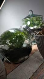 Terrario fechado - pote de vidro com plantas vivas.