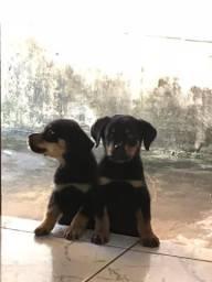 Tenho 2 Rottweiler MACHO disponível com 67 dias!