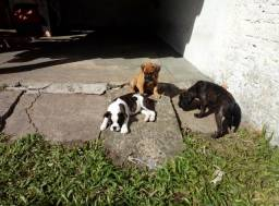 Filhotes Boxer c/ Buldogue Campeiro