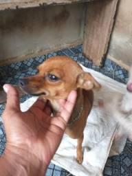 Venda cachorrinha pinscher número um contato *