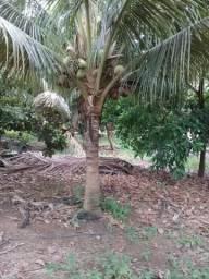 Vende-se 40 pés de coco. 150 reais cada