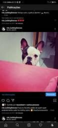 Bulldog francês Macho - Cruza.