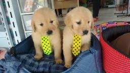 Filhotes de Golden disponivel HOJE AQUI NO PET GOLD DOG
