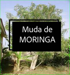Muda de moringa oleifera
