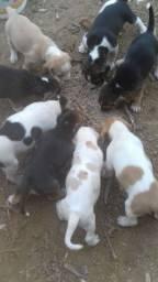 Tenho  Beagle13 Polegadas tricolor  e bicolor