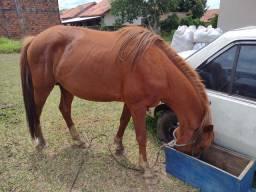 Cavalo inteiro 3 anos e meio