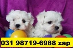 Canil Cães Miniaturas Filhotes BH Maltês Poodle Lhasa Beagle Basset Shihtzu Pug Yorkshire