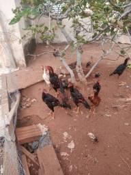 Vendo galinhas índia