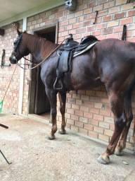 Cavalo quarto de milha com documento