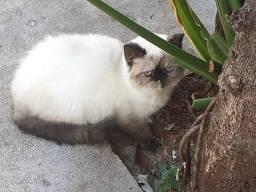 Linda gata fêmea da raça persa exótico é no Da Madre pet shop!!!!