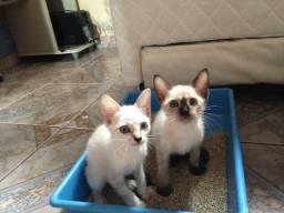 Casal de gatinhos para adoção responsável