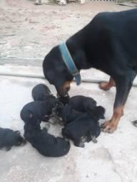 Vendo filhotes de Rottweiler puros de pai e de Mãe
