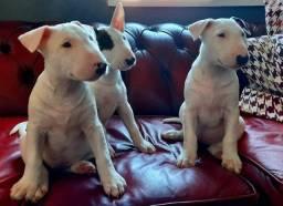 Bull Terrier filhotinhos compre o seu com segurança e garantias!