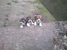 Fêmeas Beagle