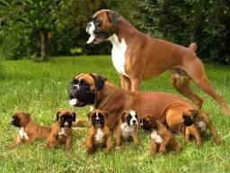 Filhotes De Boxer Disponível