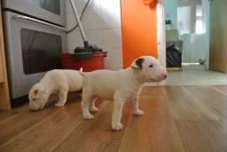 Bull Terrier Inglês entrega hoje, chamar no whats
