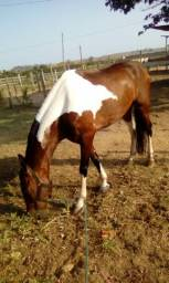 Cavalo Mangalarga Marchador Pampo De Castanho