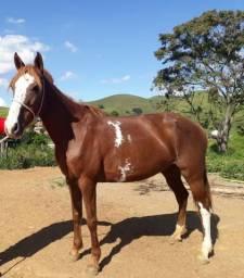 Égua mangalarga paulista.