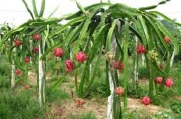 Mudas da pitaya vermelha