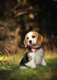 Filhote de beagle apaixonante
