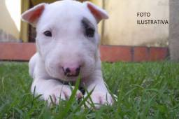 Atenção!! Temos filhotes originais da raça Bull Terrier Inglês